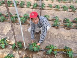 cultivo arava 2