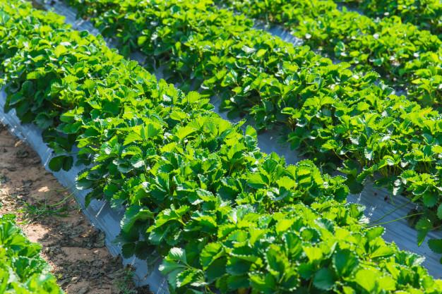 tailandia agricultura 3