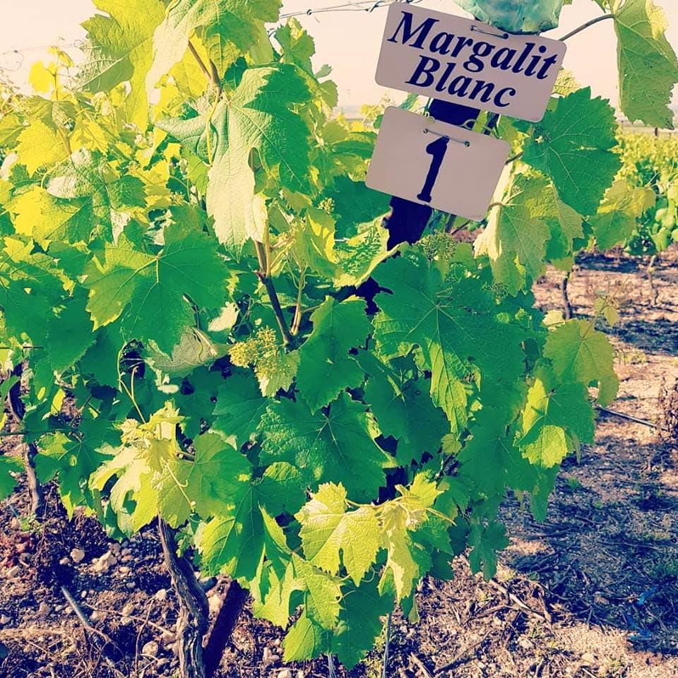 vino israel margalit blanc