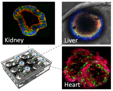 Tissue-Dynamics-Human-on-Chip-platform-